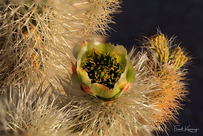 Cholla Cactus Flower - Joshua Tree National Park.jpg
