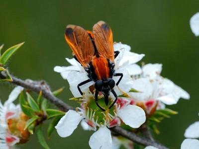 Pelecorhynchidae