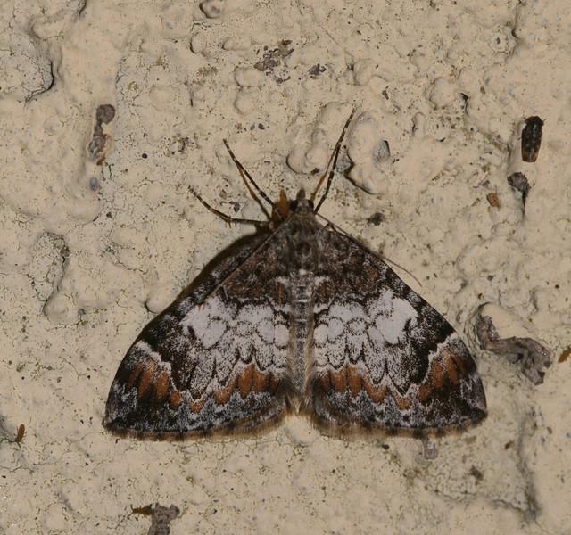 Common Marbled Carpet, Dysstroma truncata