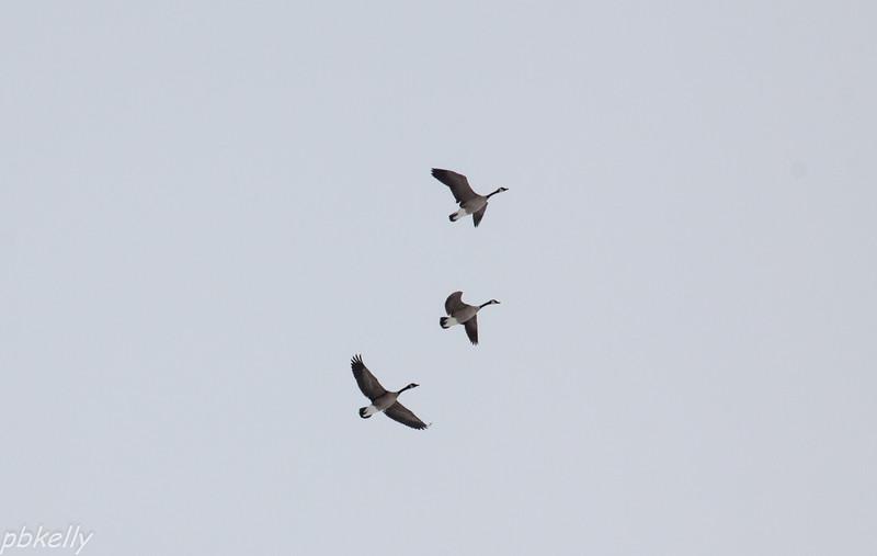 geese 013114-1.jpg