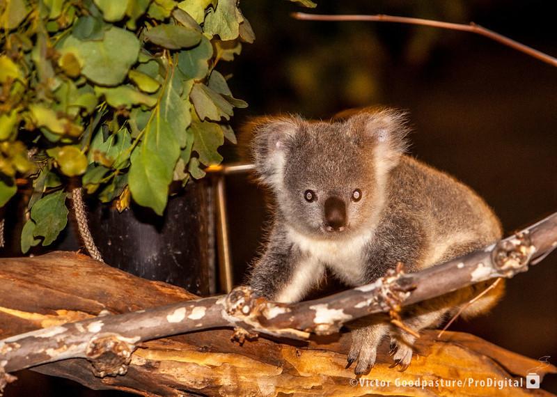 Koalafornia-27.jpg