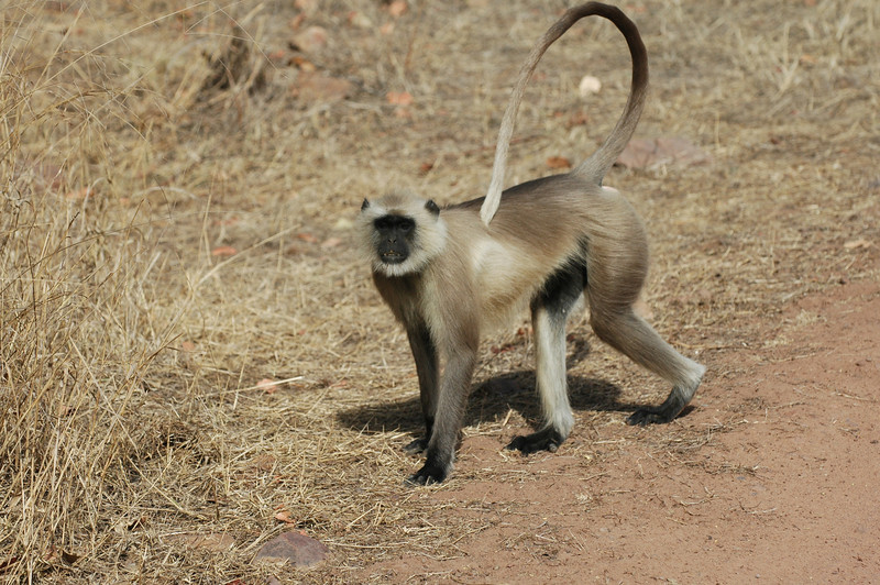Ranthambore National Park: Black Face Monkey