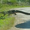 Alligator & Prius