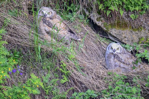 6 2013 Jun 10 Great Horned Owls - Cave Nest Update*