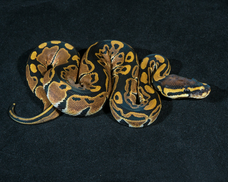 Het Albino F0214, sold, Scott