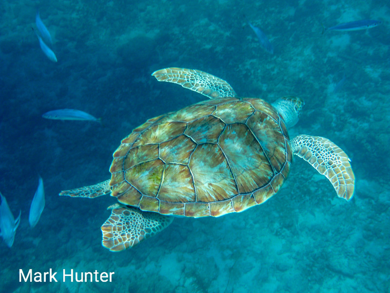 Green Turtle Swimming By