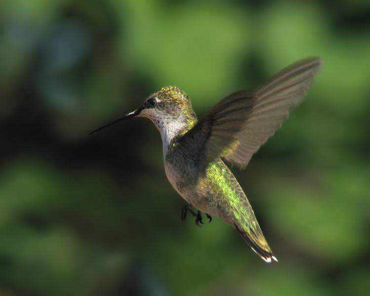 hummingbird_7503.jpg