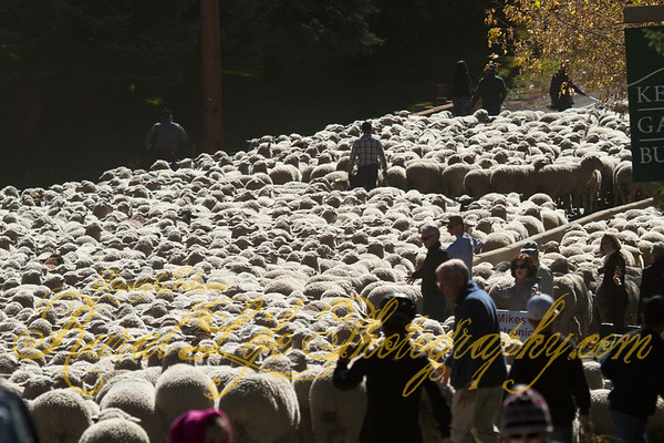 Trailing of the sheep ketchum Idaho 2014