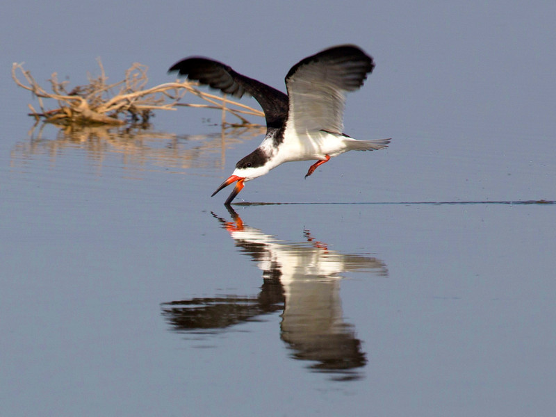 It trails its lower jay in the water looking for prey.