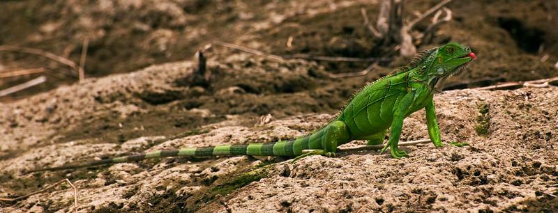 Iguana, Lake Arenal