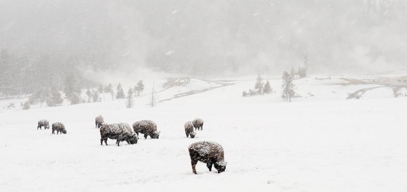 Bison in Blizard