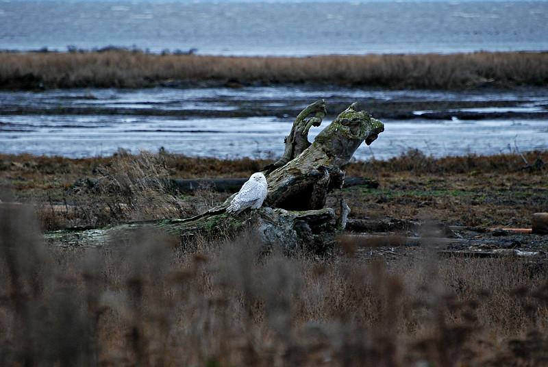 Snowy Owl Boundary Bay B.C Canada