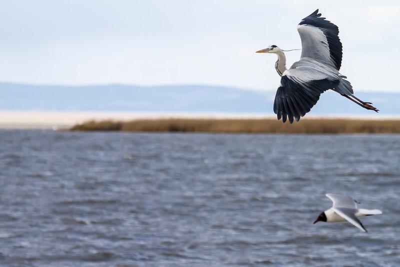 HIF (Heron in Flight)