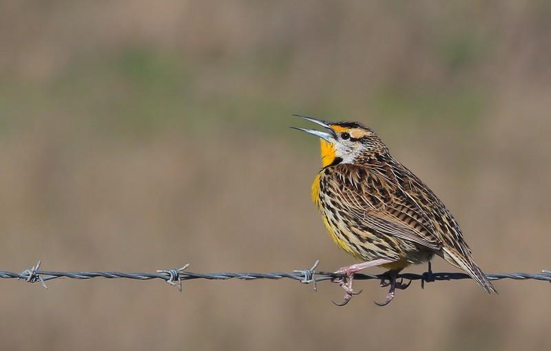 zzAnahuac,2-16-16 225A male Meadowlark calling.jpg