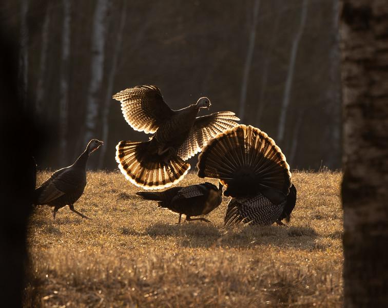 Wild Turkey flock displaying male toms courtship Skogstjarna Carlton County MN  IMGC5650-2.jpg