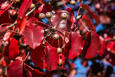 Pear Trees in Fall - Bradford, etc.