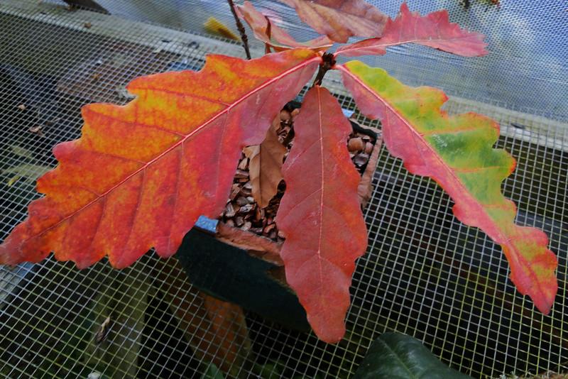Quercus crispula