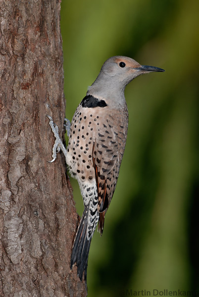 Northern Red Shafted Flickers main food is ants.
