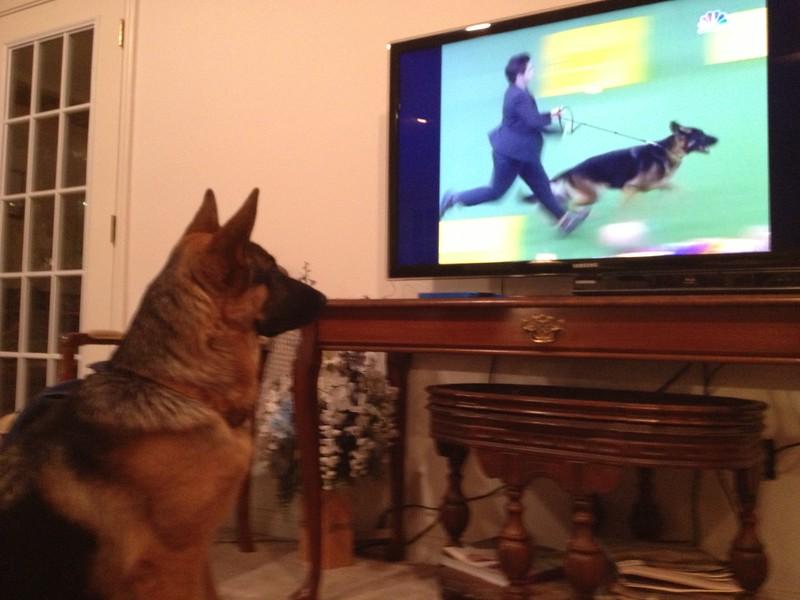 Valkyrie watching Wesminster