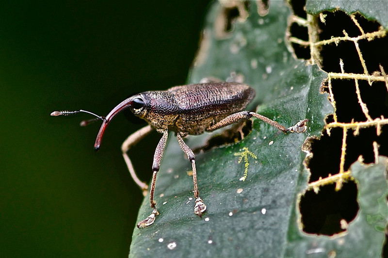 Cholus Weevil, Cholus sp.