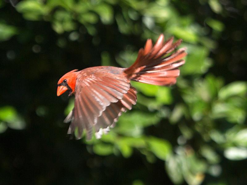 cardinalinflight.jpg