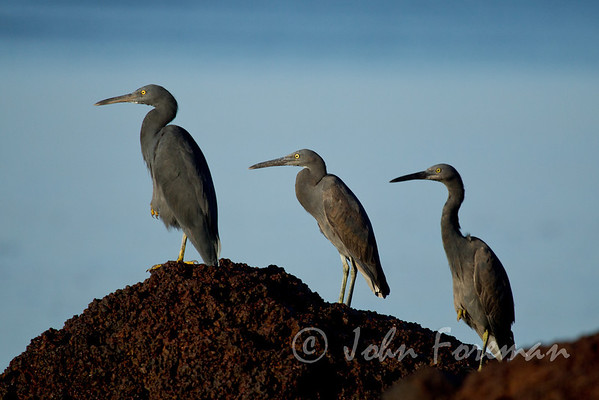 Pacific Reef Egrets