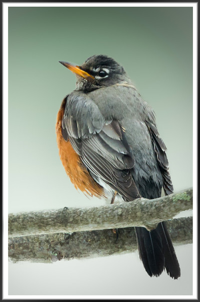 untitled-2-2 robin with border MF for card-2.jpg