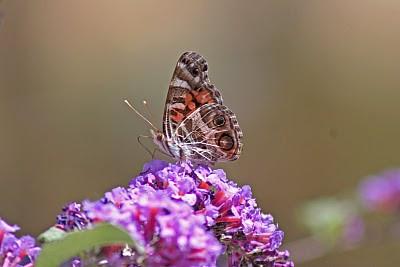 La Cresta, Murrieta, CA: Butterflies & Bugs