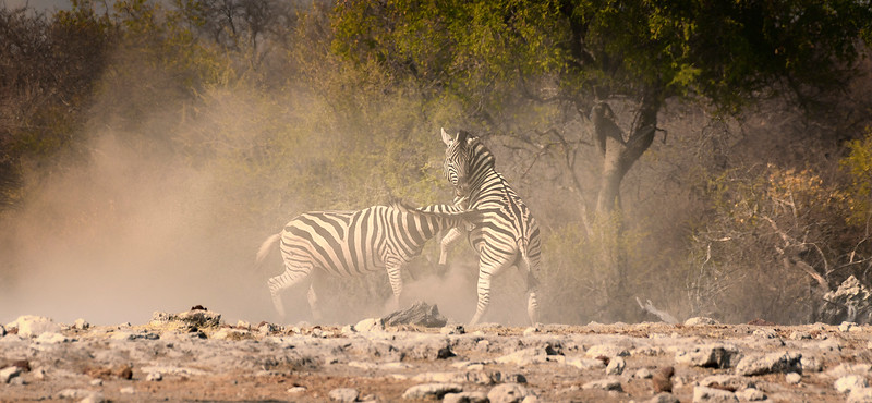 zebra fight.JPG
