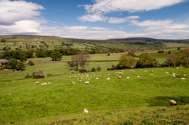 Sheep grazing in Teesdale