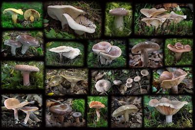 1 - Zoznam európskych druhov rýdzikov (Lactarius/Lactifluus)