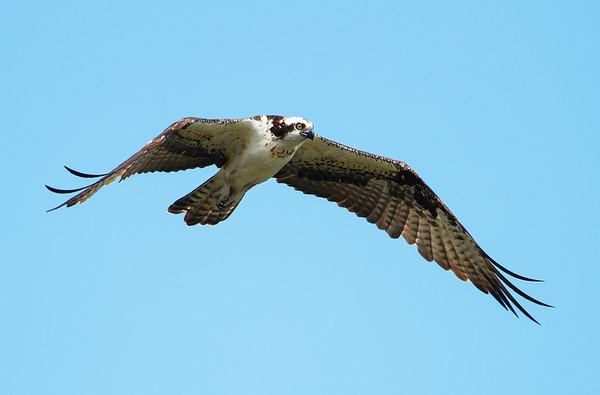 Osprey (Pandionidae)