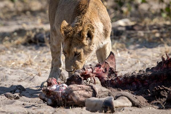 Nature 2015 Lion