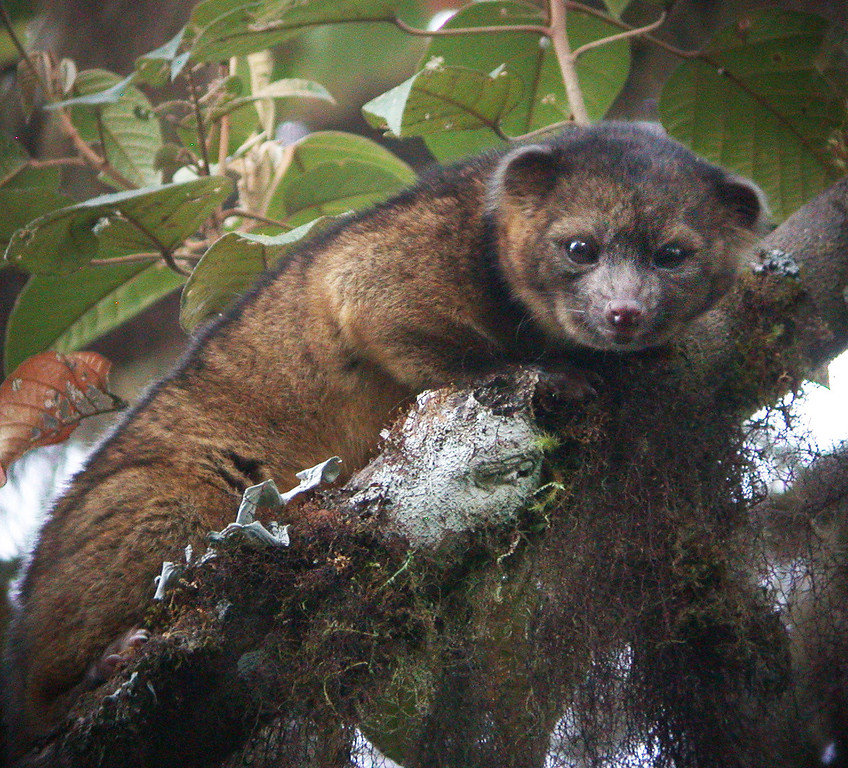 . n this handout photo provided by Smithsonian, an olinguito, a new species of Carnivore which has been newly discovered, is seen in an undated photo.   (Photo by Mark Gurney for Smithsonian via Getty Images)