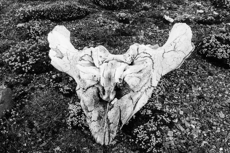 Bowhead Skull