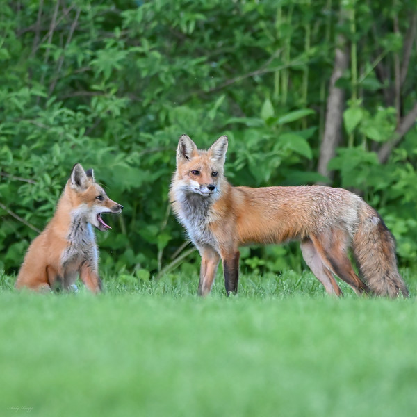 Red fox adult and juvenile