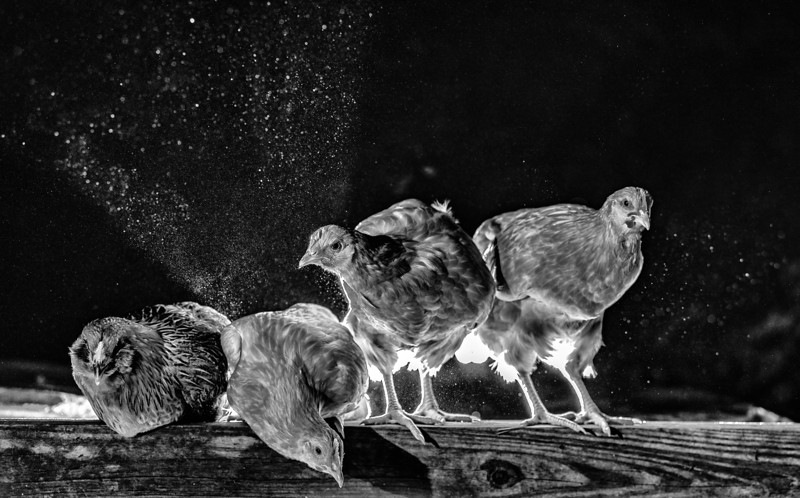 Chickens-SB2_0833-EditPPro.jpg
