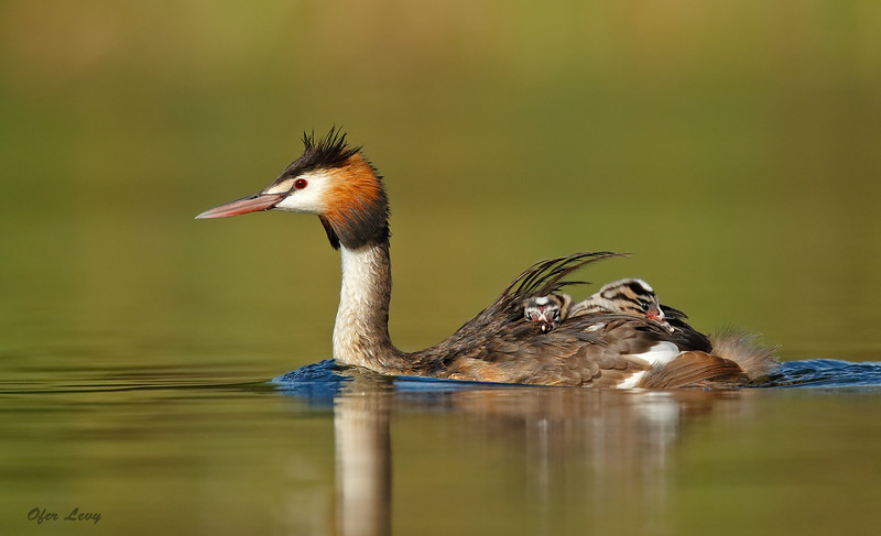 Great-crested Grebe 6.jpg