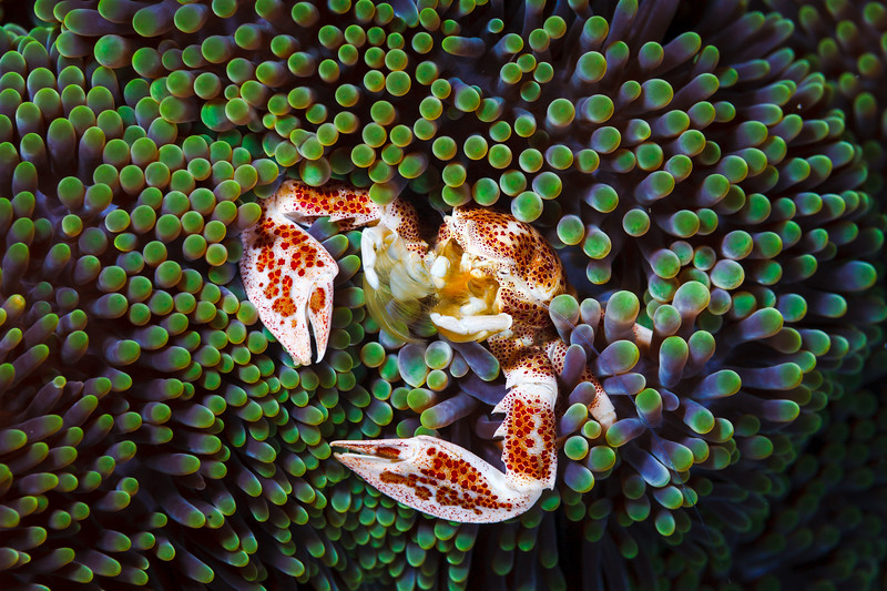 Porcelain crab in carpet sea anemone