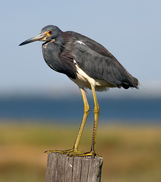 Tricolor Heron on a post ... another look