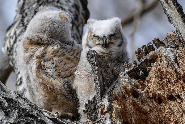 4-8-16 Great Horned Owlets