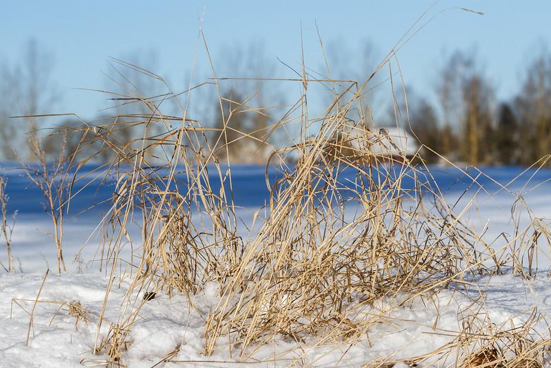Tørt gress