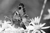 Gate Keeper - Pyronia tithonus (43)