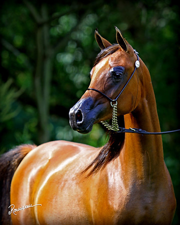 Graci Arabians