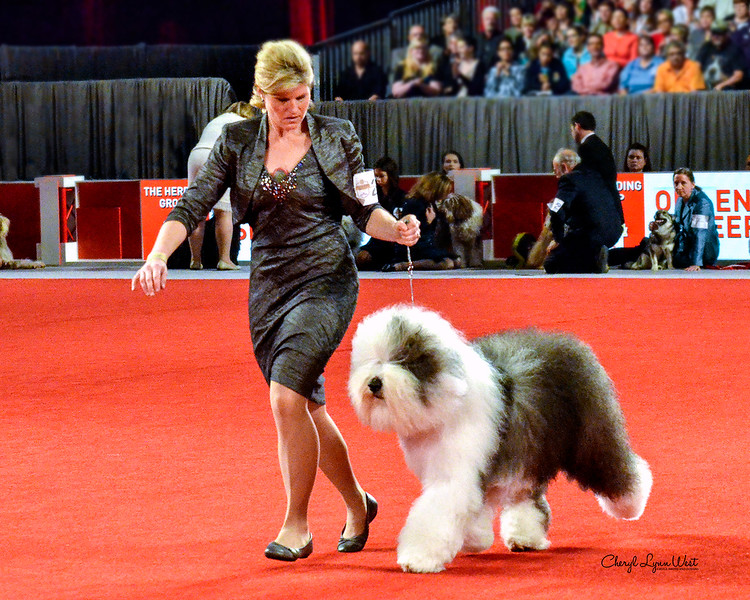 Old English Sheepdog - CH Bugaboo's Let It Go Blu Mtn