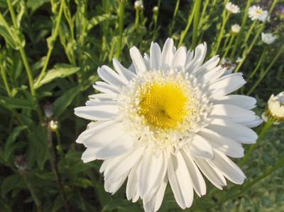 Leucanthemum 'Sunny Side Up'.jpg