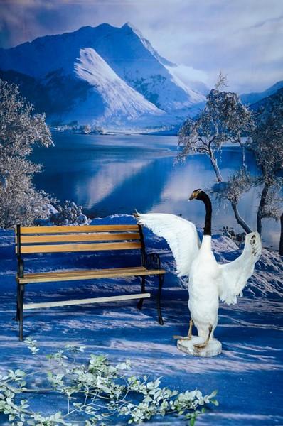 phototheatre-christmas swan-01.jpg