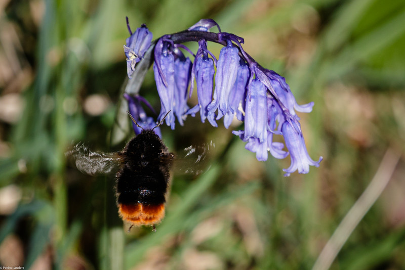 Red-Tailed Bumblebee on Bluebell