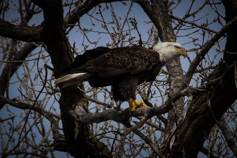 Eagle sitting-7024.jpg