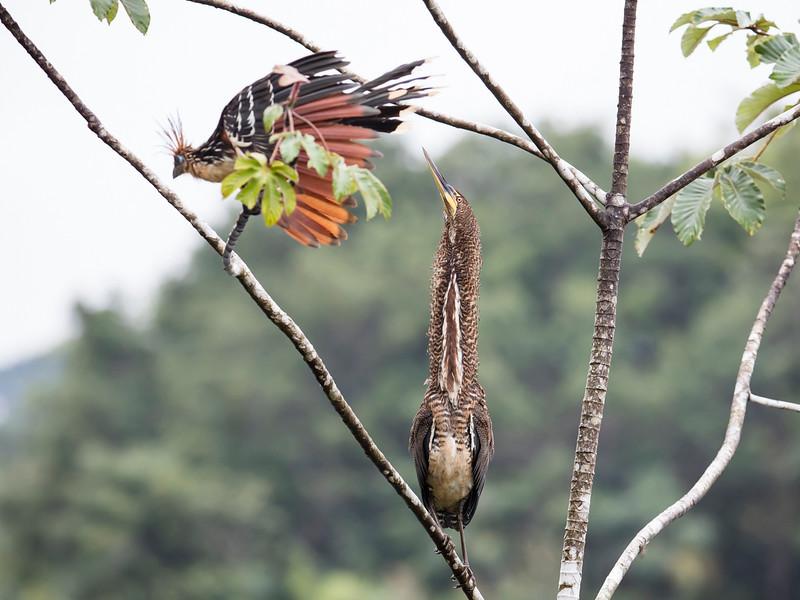Rufescent Tiger Heron & Hoatzin